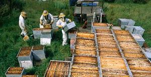 Разведение пчел на ферме
