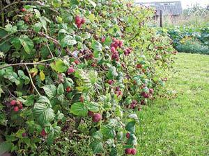 сорта ягоды
