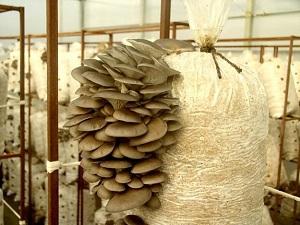 мешки с грибами
