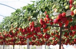 растущая ягода