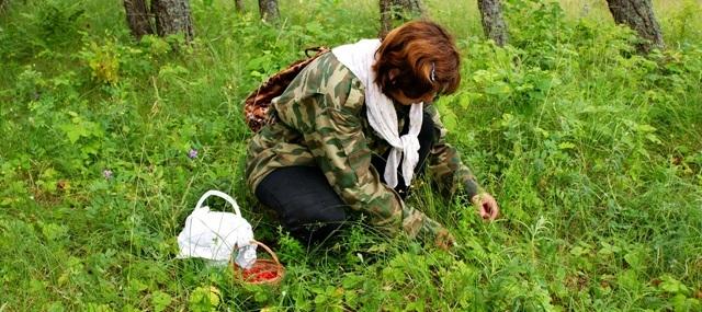 сбор ягоды в лесу