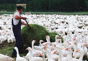 Бизнес-план гусиной фермы: образец документа с финансовыми расчетами, основные пункты и нюансы составления